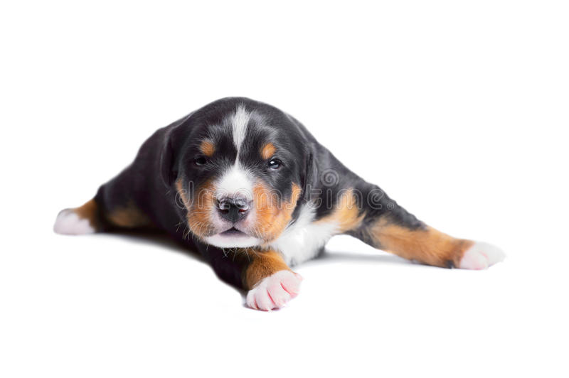 Two-weeks Old Puppy Sennenhund Tricolor Stock Images