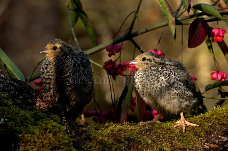 Two weeks old quail, Coturnix japonica...sitting in a Spindle tree, Euonymus planipes stock photos
