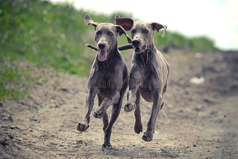 Download Two Weimaraner dog stock photo. Image of grass, summer - 25774820