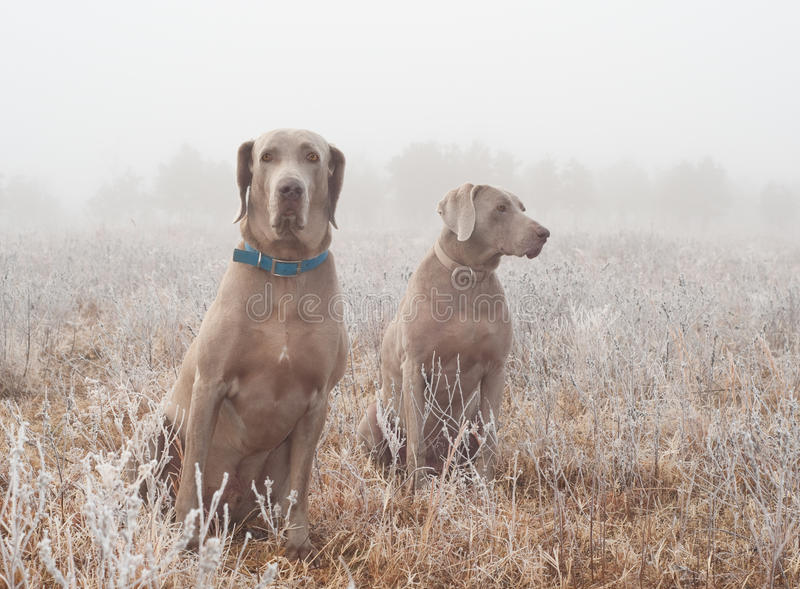 Download Two Weimaraner Dogs In Heavy Fog Stock Image - Image: 26635831