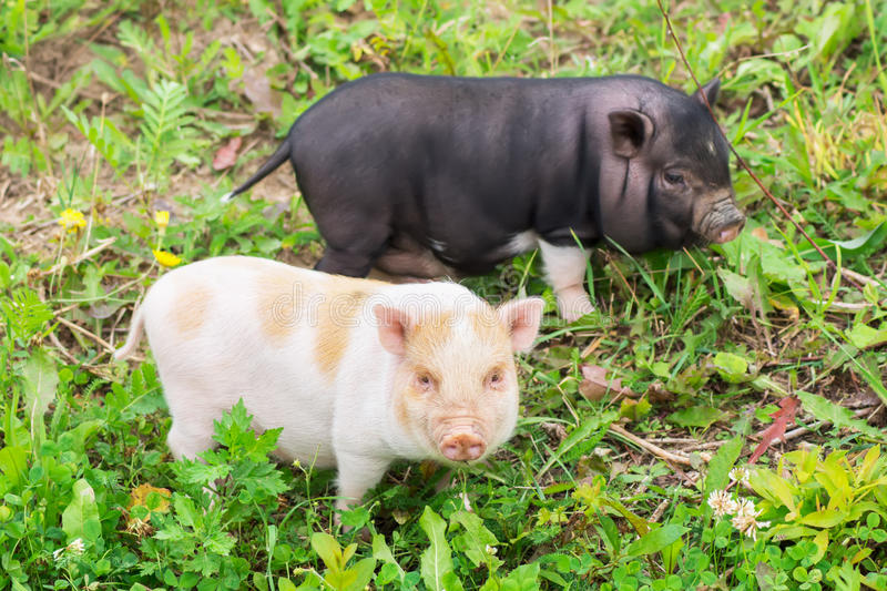 Two well-fed pig walk on the grass royalty free stock image