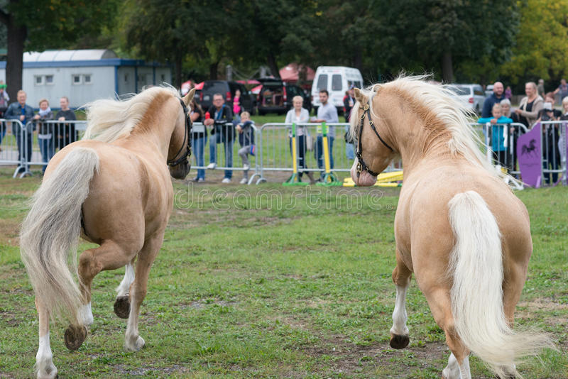 Two welsh pony cob palomino horses on equestrian show in run. Two welsh pony cob palomino horse stallion on equestrian competition show in the background stock photos