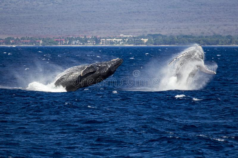 Two whales are jumping stock images