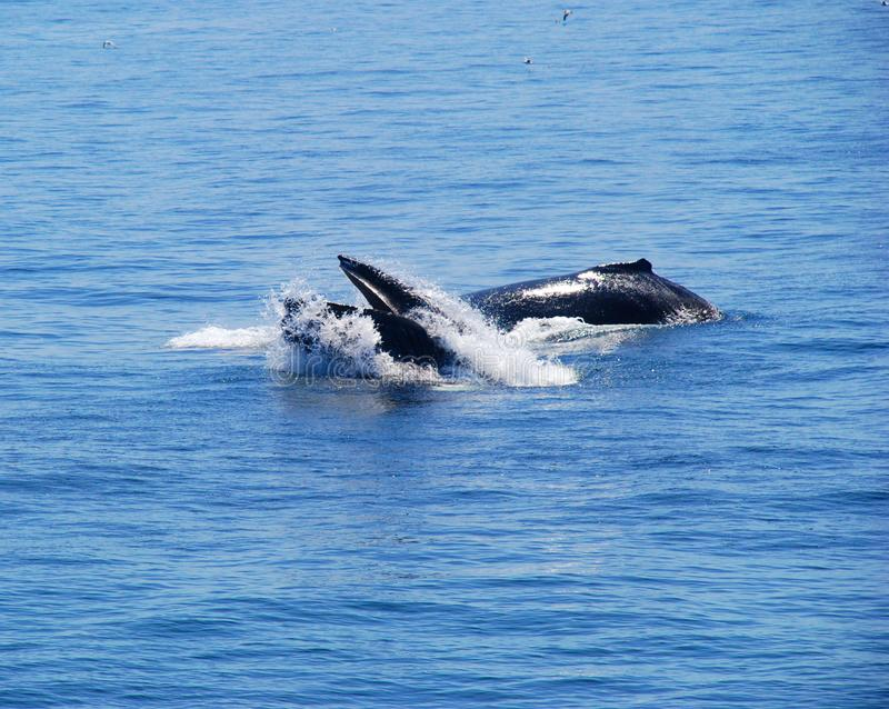 Two whales in the ocean stock photos