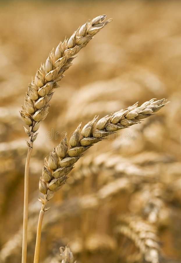 Two wheat ears royalty free stock image