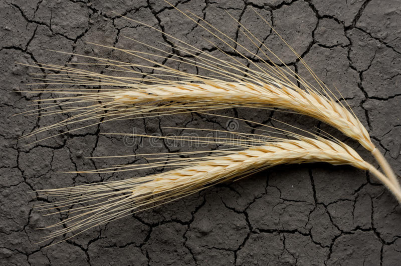 Two wheat ears on eroded soil stock photos