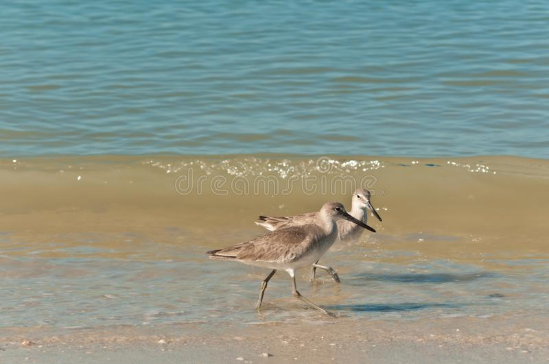 Two whimbrel, seabirds, prancing along a tropical shoreline in search of next meal. Two whimbrel, seabirds, prancing along a tropical, surf and shoreline, in royalty free stock photography