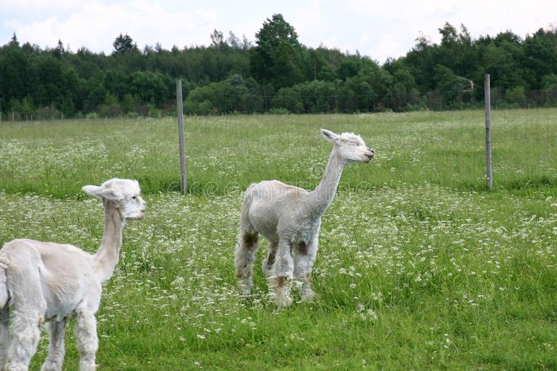 Two white alpacas enjoying the summer day. Two white alpacas are standing on a field and seem to be communicating with each other. In front, an alpaca is stock image