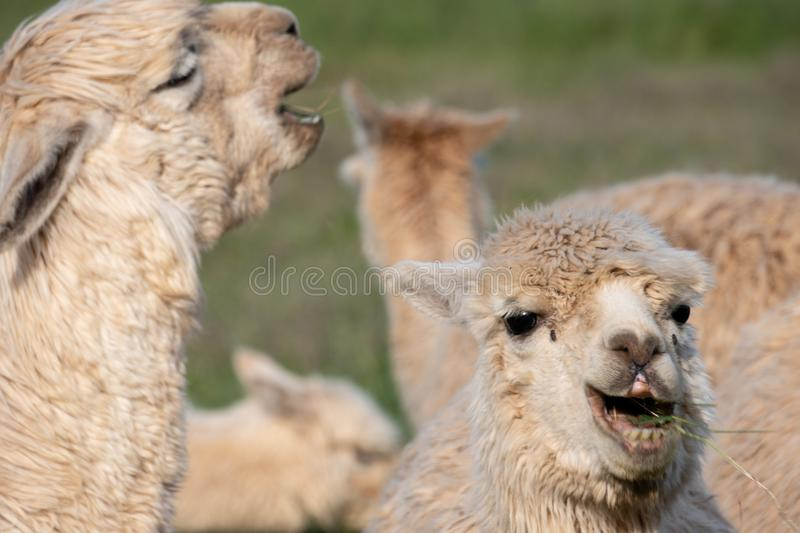Two white alpacas that look like their laughing. While feeding in a pasture on a farm in Southern Oregon stock photography