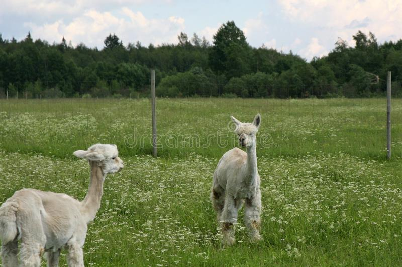 Two white alpacas enjoying the summer day. Two white alpacas are standing on a field and watching each other. Behind the alpacas, there is a field, forest and stock images