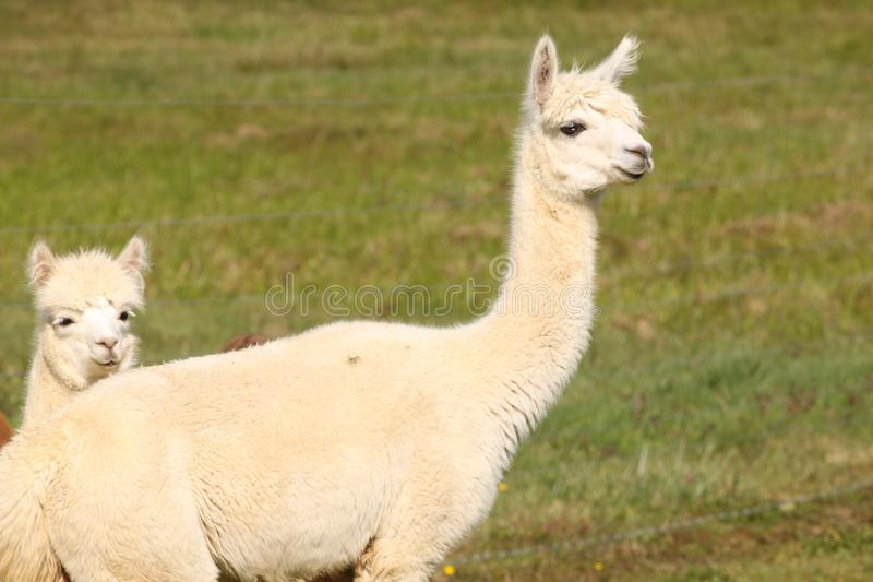 Two white alpacas. In a field royalty free stock photos