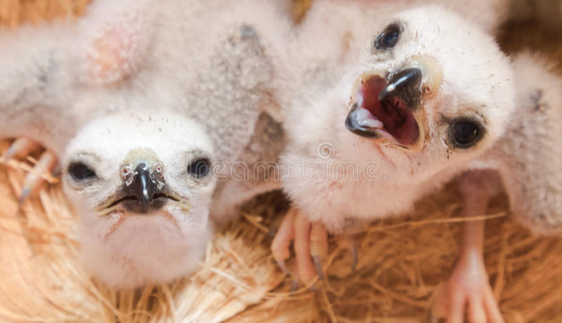Two white baby bird, young falcon waiting food from mother, selective focus stock photos