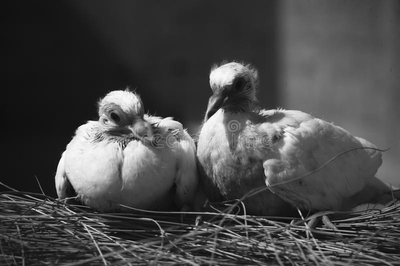 Two white baby pigeons royalty free stock photography