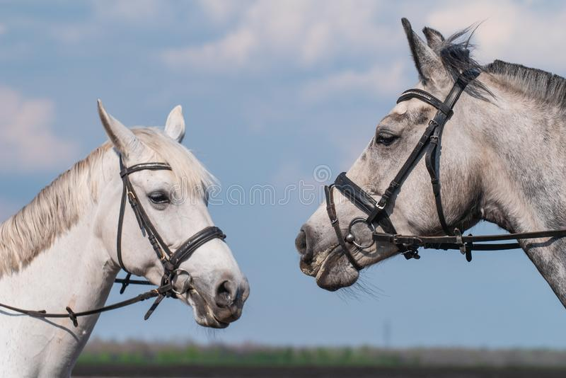 Two white beautiful horse heads at blue sky background stock image