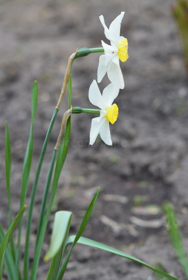 Two white beautiful narcissus. Macro photo of  flower. Two beautiful white narcissus in the garden. Summer photo of flowers stock photo