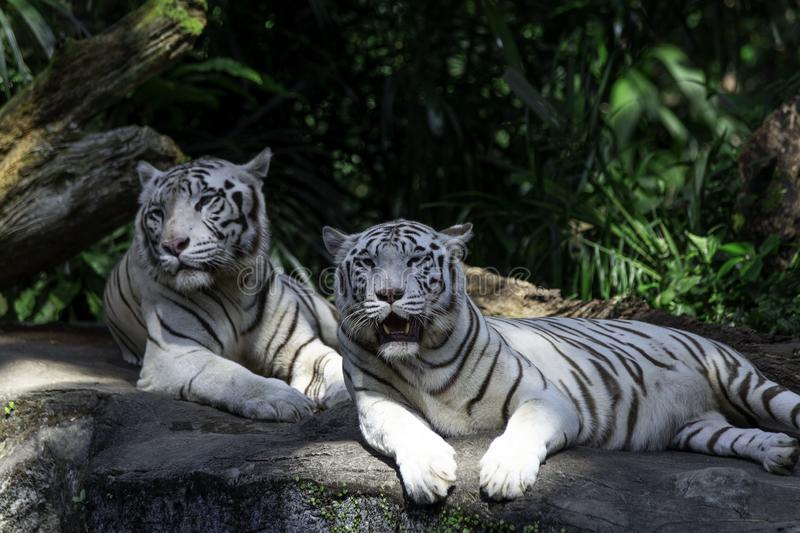 Two white Bengal Tigers stock images