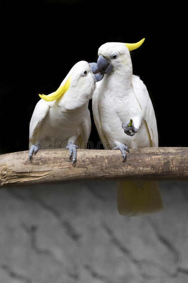 Two white birds kissing on branch royalty free stock photography