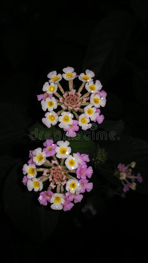Two white, blue, yellow petaled Indian lantana flower with rain drops captured in the dark night. royalty free stock photo