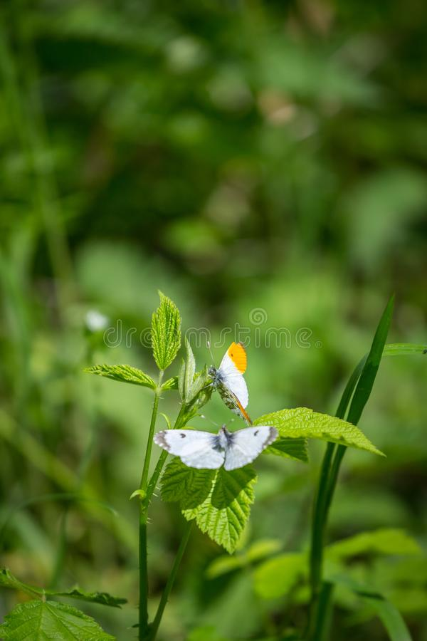 Two white butterflies, male with orange edge on wings, mate on a green leaf.  royalty free stock photo
