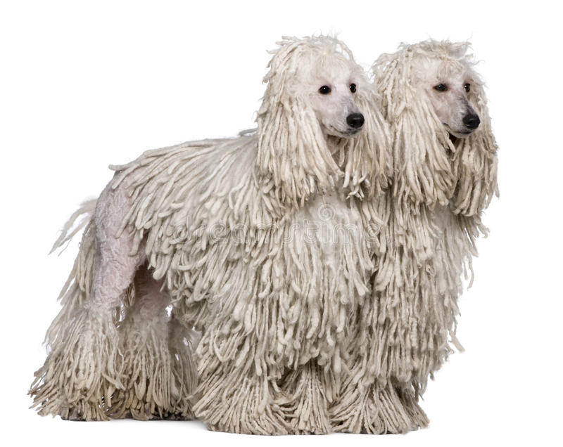 Two White Corded standard Poodles sitting stock image