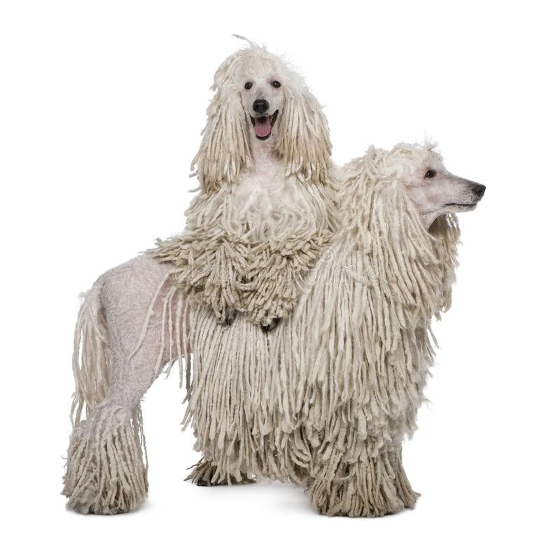 Two White Corded standard Poodles standing in front of white background stock images