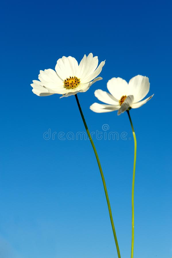 Two white Cosmos flowers against a dark blue sky isolated stock photos