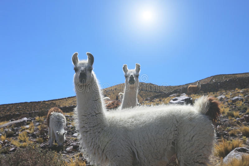 Two white cute llama looking at the camera. Two white cute llama looking at the camera stock photos