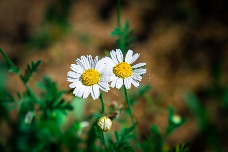 Two white daisies royalty free stock photos