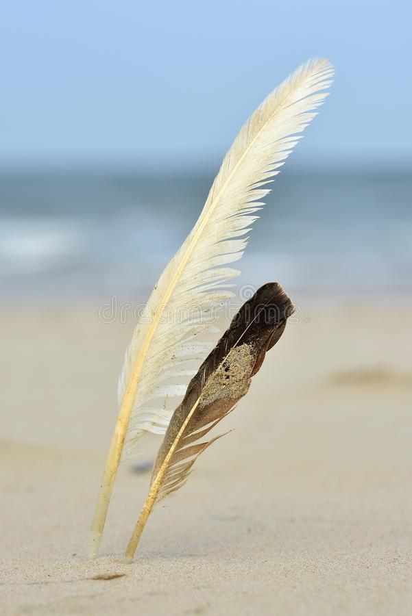 Two white and dark seagull bird feathers uprigt in the sand on a beach royalty free stock photos