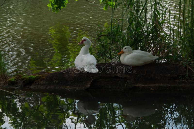 Two white ducks sits on the old log in the rural pond surrounded by green grass. goose on green background royalty free stock image