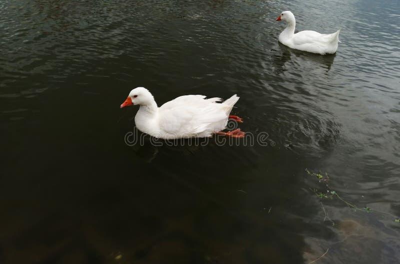 Two white ducks swim on the lake stock photos