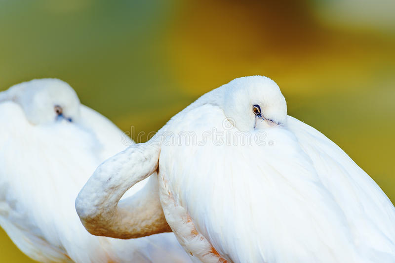 Two white flamingos have a rest on the water. Portrait of a white bird that beak tucked under its wing royalty free stock photos