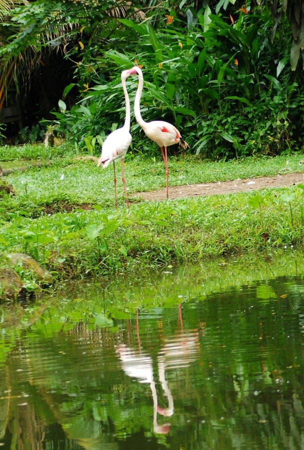 Free Two White Flamingos In Love Stock Photos - 5110973