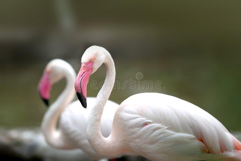Two white Flamingos stock image