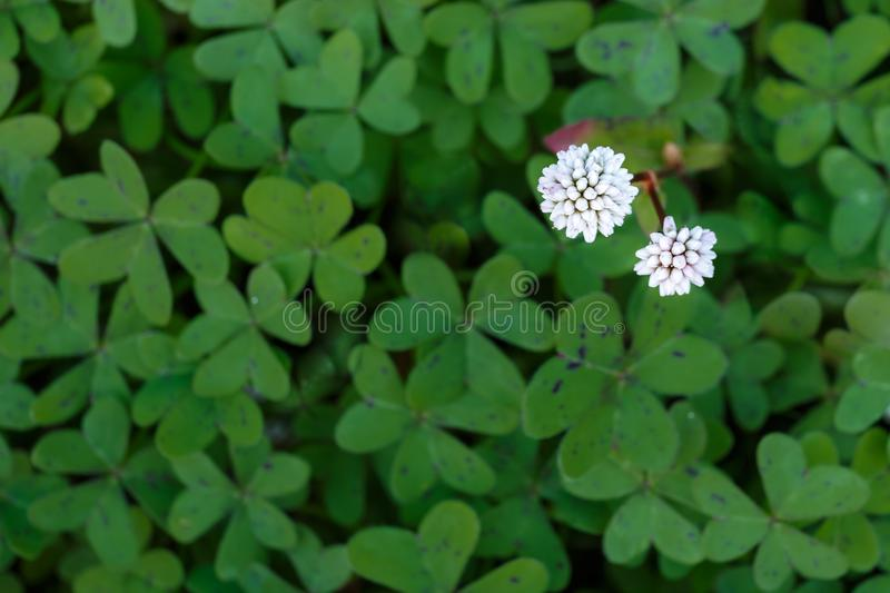 Two white flowers with green background. In a garden in Malaga, Spain royalty free stock image