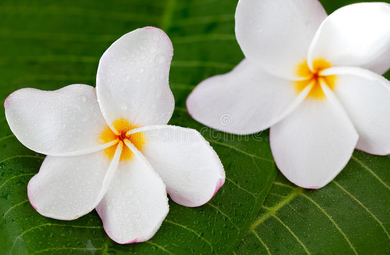 Two white frangipani flowers on green leaf, close up royalty free stock photos