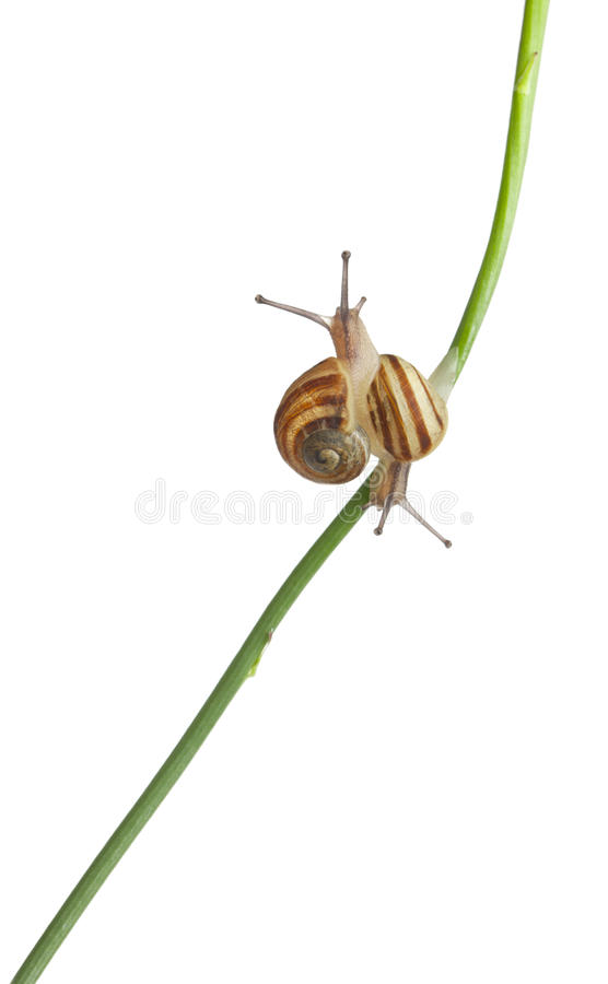 Two White Garden Snails. Or Mediterranean snail, Theba pisana, in front of white background stock image