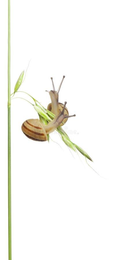 Two White Garden Snails. Or Mediterranean snail, Theba pisana, in front of white background stock photos