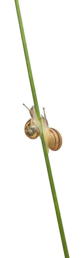 Two White Garden Snails. Or Mediterranean snail, Theba pisana, in front of white background stock photo