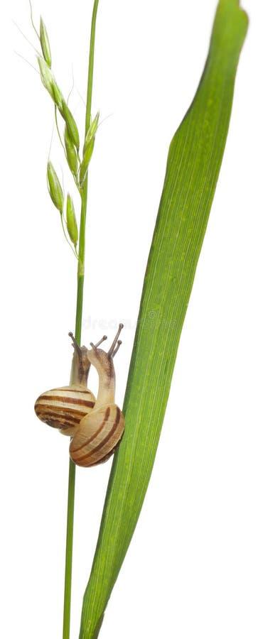 Two White Garden Snails or Mediterranean snail, in front of white background. Two White Garden Snails or Mediterranean snail, Theba pisana, in front of white royalty free stock image