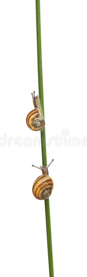 Two White Garden Snails or Mediterranean snail in front of white background. Two White Garden Snails or Mediterranean snail, Theba pisana, in front of white royalty free stock images
