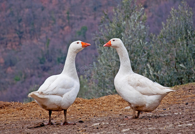 Download Two White Geese stock image. Image of farmyard, fowl - 18507747