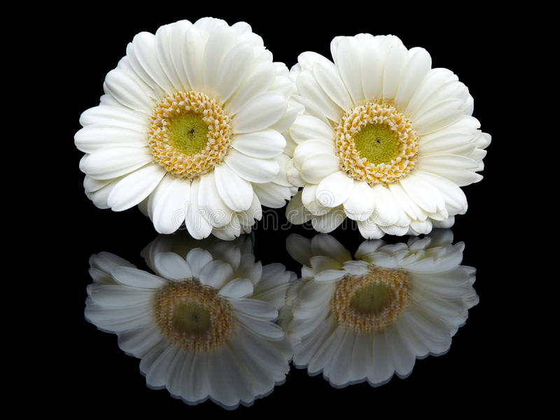 Two white gerberas with mirror image on black. Two white gerberas lying together with a mirror image on a black background stock photography