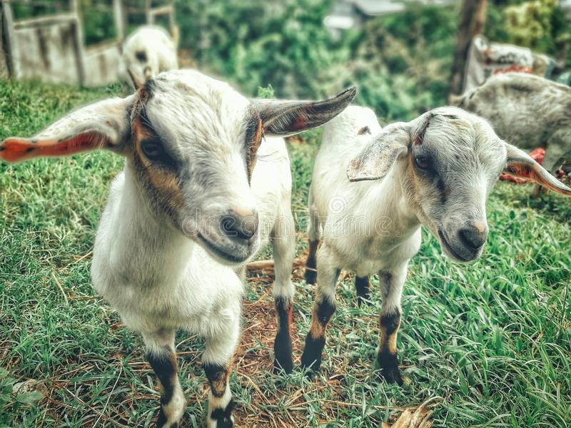 Two White Goat Kids stock photography