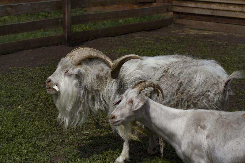 Two white goats close up royalty free stock photography
