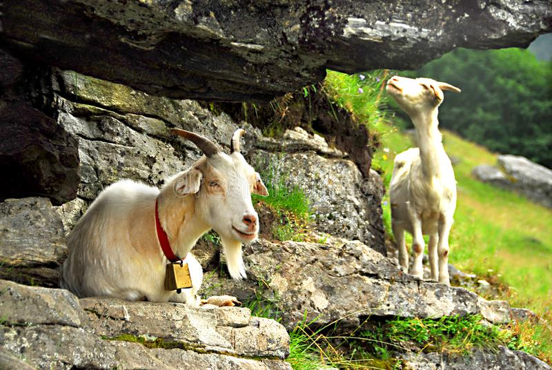 Two white goats grazing on mountain cliff with bell on the neck stock photo