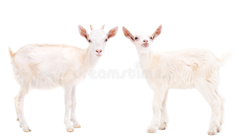 Two white goats stock photography
