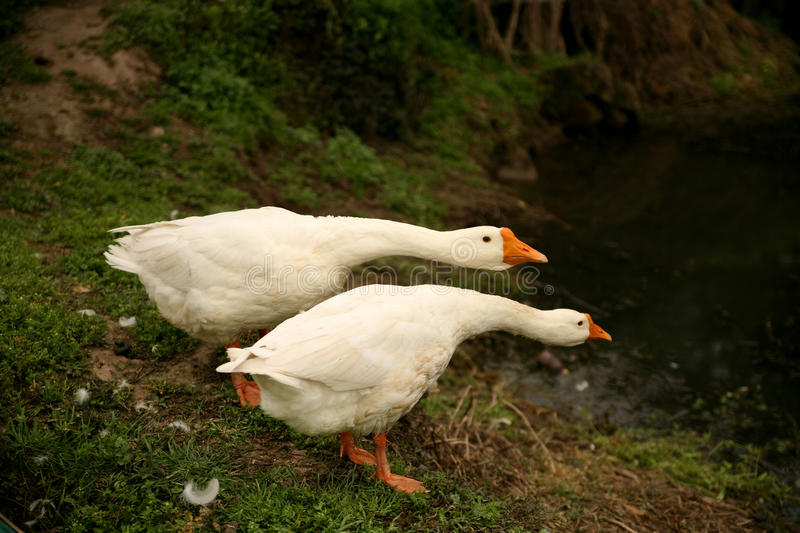 Two white goose stock photo