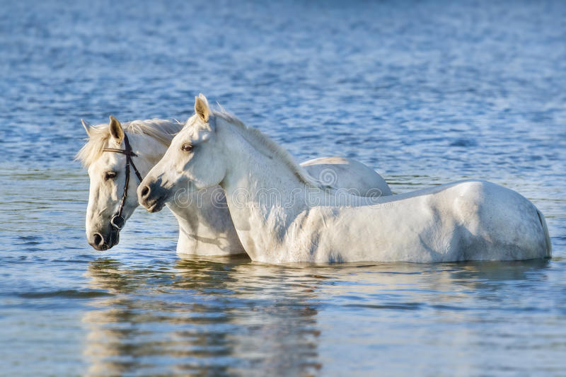 Two white horse swim in water stock images