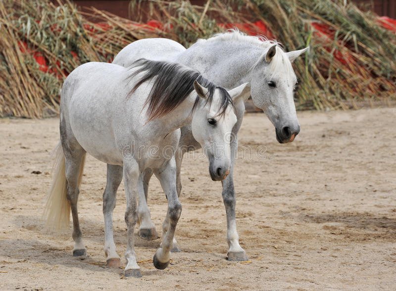 Download Two white horses stock image. Image of mare, white, stallion - 9410791